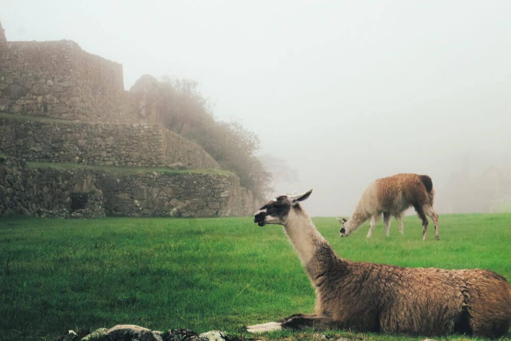 lamy w Peru