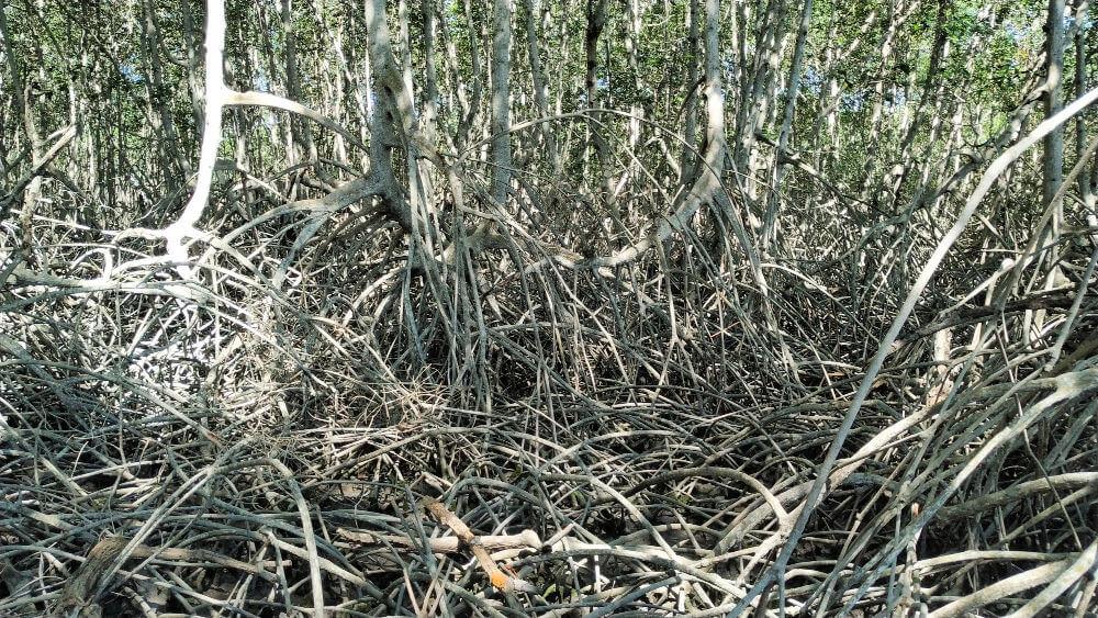 las mangrowy peru