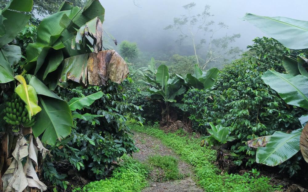 plantacja kawy peru